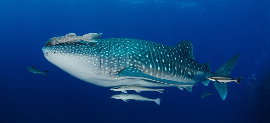 Whaleshark and divers